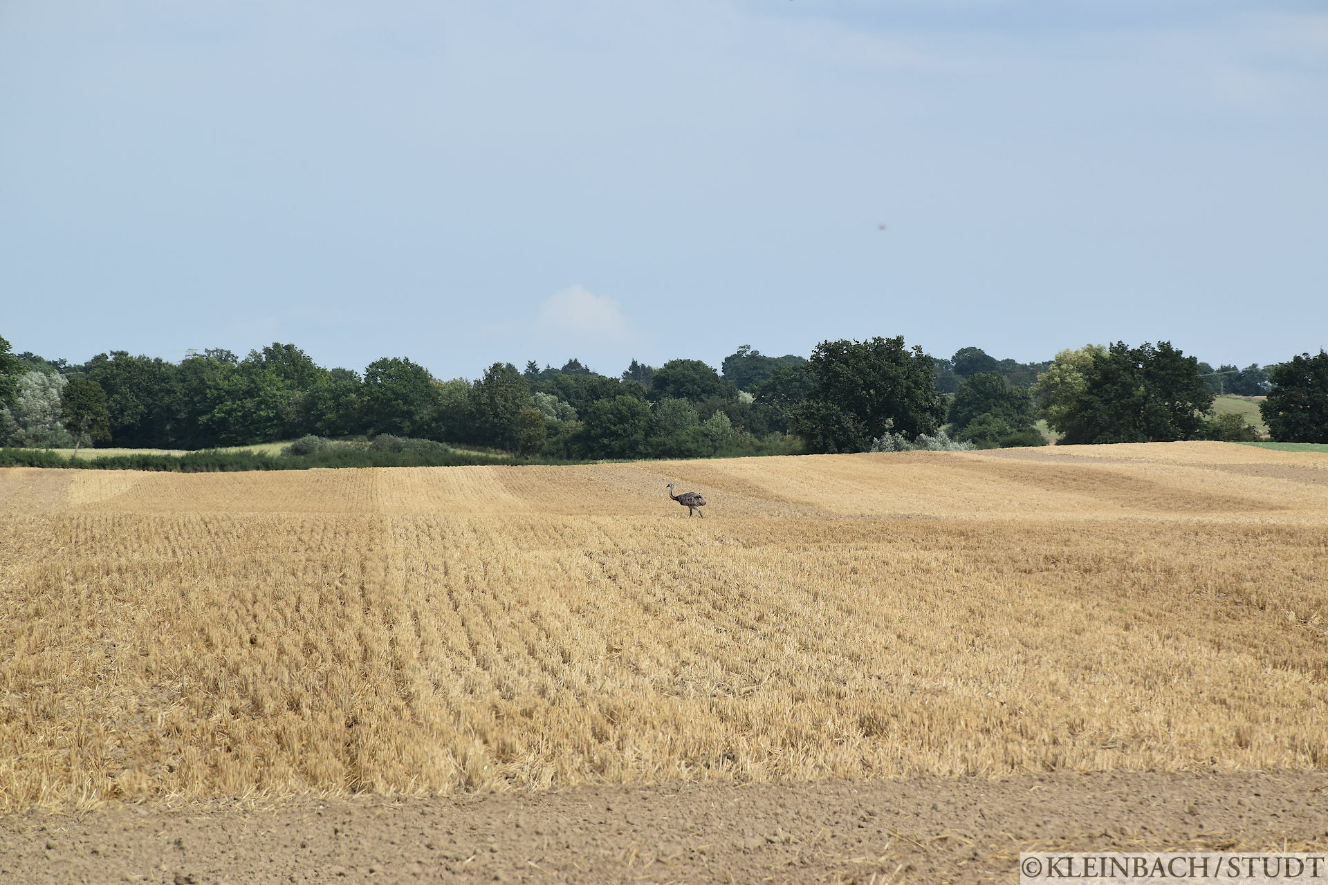 Von einer Farm enflohener Strauß, der zweite den ich gesehen hab.